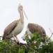 Grijze-pelikaan-Spot-billed-pelican-06