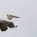 Grijze-pelikaan-Spot-billed-pelican-09