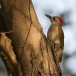 grijze-specht-grey-woodpecker-04