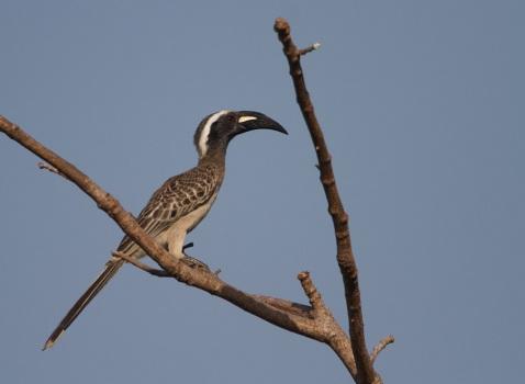 grijze-tok-grey-hornbill-02