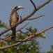 Grijze Tok – Grey Hornbill