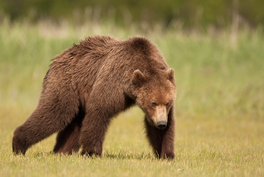 grizzly-beer-grizzly-bear-08