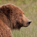 grizzly-beer-grizzly-bear-04