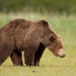 grizzly-beer-grizzly-bear-07