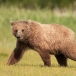 grizzly-beer-grizzly-bear-10