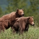 grizzly-beer-grizzly-bear-36