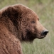 grizzly-beer-grizzly-bear-46