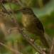 Groene Buulbuul – Little Greenbul