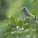 Groene-muskaatduif-Green-imperial-pigeon-02