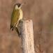 groene-specht-green-woodpecker-01