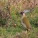 groene-specht-green-woodpecker-04