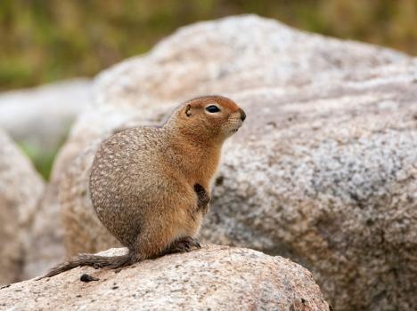 grondeekhoorn-ground-squirrel-01
