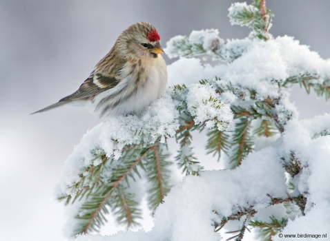 Grote barmsijs - Mealy Redpoll  02