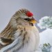Grote barmsijs - Mealy Redpoll  01