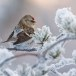 Grote barmsijs - Mealy Redpoll  07