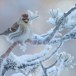 Grote barmsijs - Mealy Redpoll  08