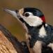 grote-bonte-specht-great-spotted-woodpecker-03