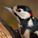 Grote bonte specht – Great Spotted Woodpecker
