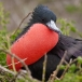 Grote Fregatvogel – Great Frigatebird