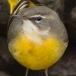 grote-gele-kwikstaart-grey-wagtail-14