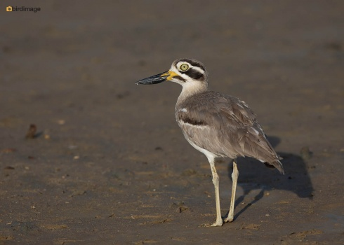 Grote-griel-Great-stone-curlew-01