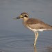 Grote-griel-Great-stone-curlew-02