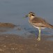 Grote-griel-Great-stone-curlew-03