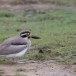 Grote-griel-Great-stone-curlew-06