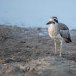 Grote-griel-Great-stone-curlew-08