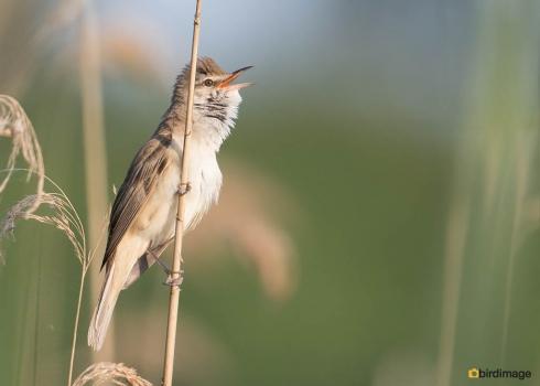 Grote karekiet - Great Reed Warbler 14