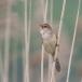 grote-karekiet-great-reed-warbler-03