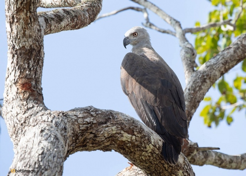 Grote-rivierarend-Grey-headed-fish-eagle-03
