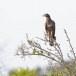 Grote-rivierarend-Grey-headed-fish-eagle-01