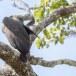 Grote-rivierarend-Grey-headed-fish-eagle-04