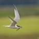 Grote stern - Sandwich Tern 03