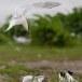 Grote stern - Sandwich Tern 08