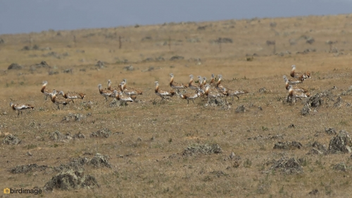 Grote trap - Great Bustard 02