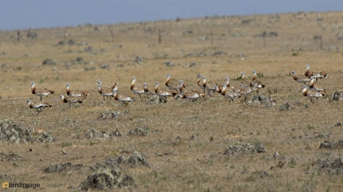 Grote trap - Great Bustard 03