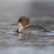 Grote zaagbek - Common merganser 08