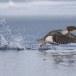 Grote zaagbek - Common merganser 10