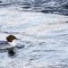 Grote zaagbek - Common merganser 11