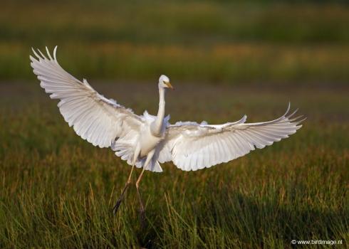 grote-zilverreiger-great-egret-11