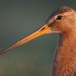 Grutto - Black-tailed Godwit 01