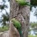 Halsbandparkiet-Rose-ringed-parakeet-02