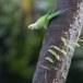 Halsbandparkiet-Rose-ringed-parakeet-03