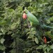 Halsbandparkiet-Rose-ringed-parakeet-04