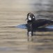 Harlekijneeind - Harlequin duck 05