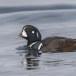 Harlekijneeind - Harlequin duck 06