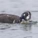 Harlekijneeind - Harlequin duck 07