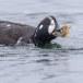 Harlekijneeind - Harlequin duck 08